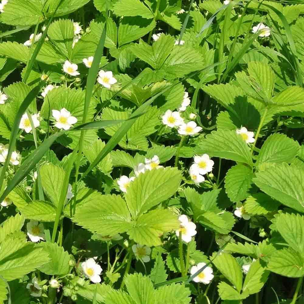 Ruegen Alpine Strawberry flowers - (Fragaria vesca)