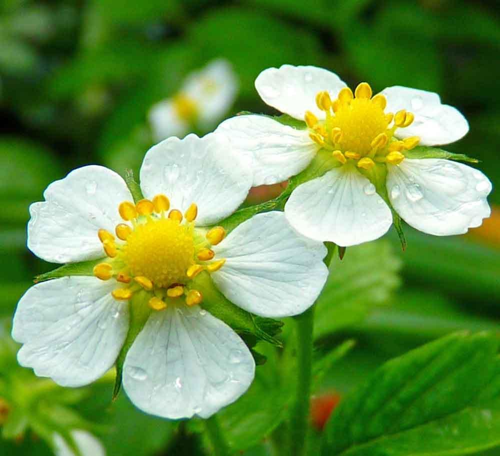 Yellow Wonder  Alpine Strawberry flowers  - (Fragaria vesca)