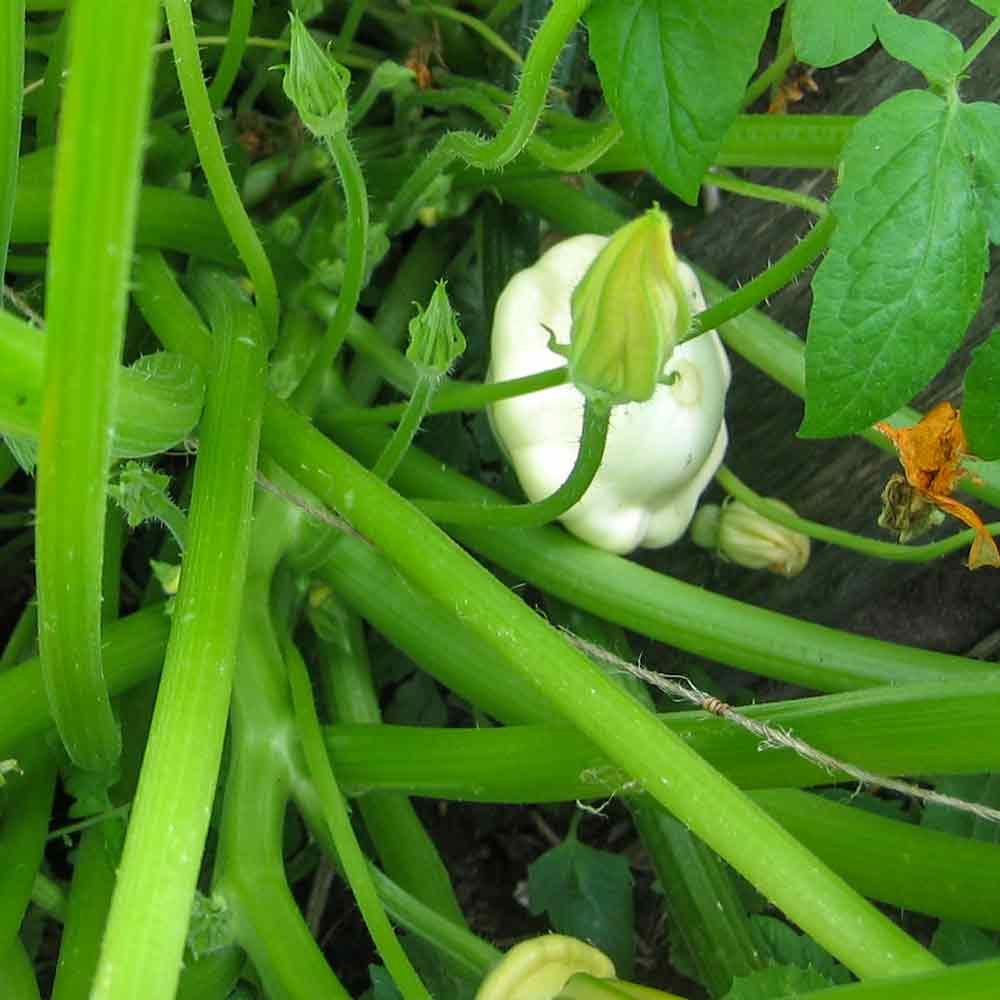 Benning's Green-Tint Scallop Squash - (Cucurbita pepo)