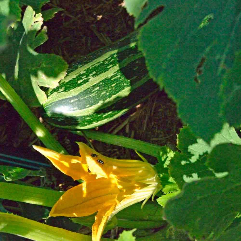 Cocozelle Zucchini with blossom - (Cucurbita pepo)