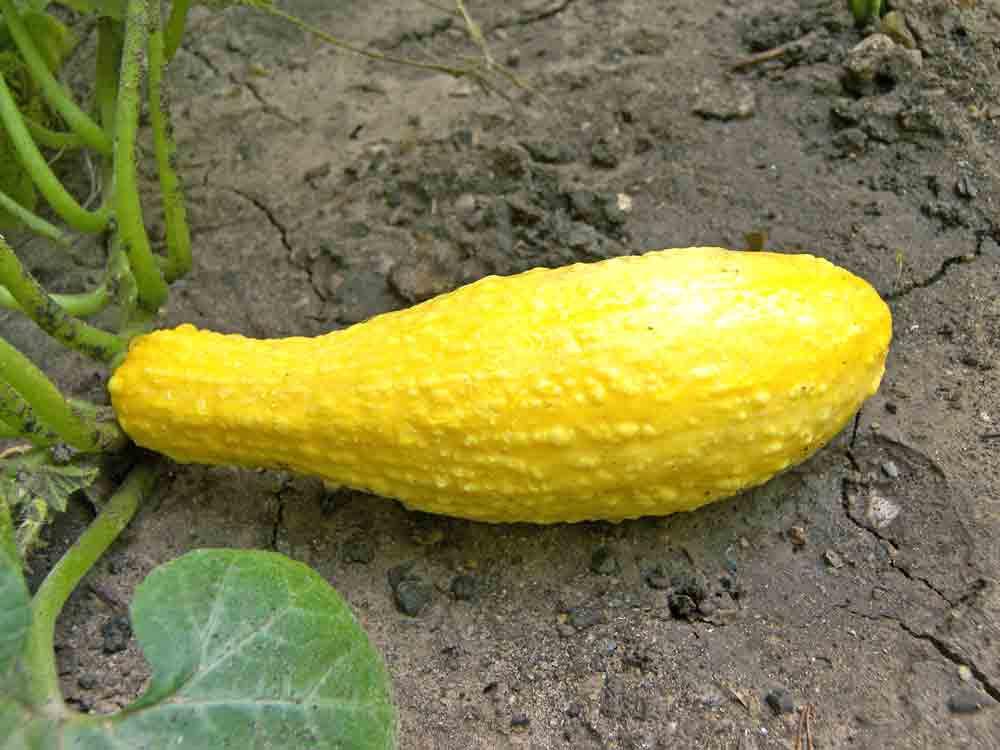 Early Summer Crookneck Squash fruit - (Cucurbita pepo)