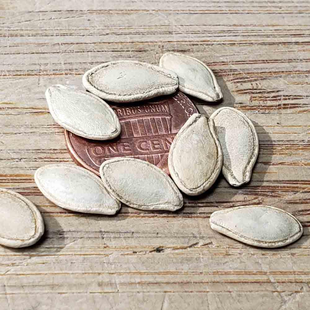 Early Summer Crookneck Heirloom Squash Seeds - (Cucurbita pepo)