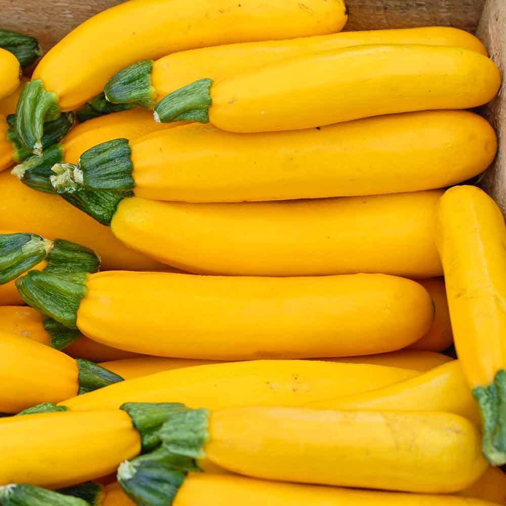 Golden Zucchini Squash - (Cucurbita pepo)