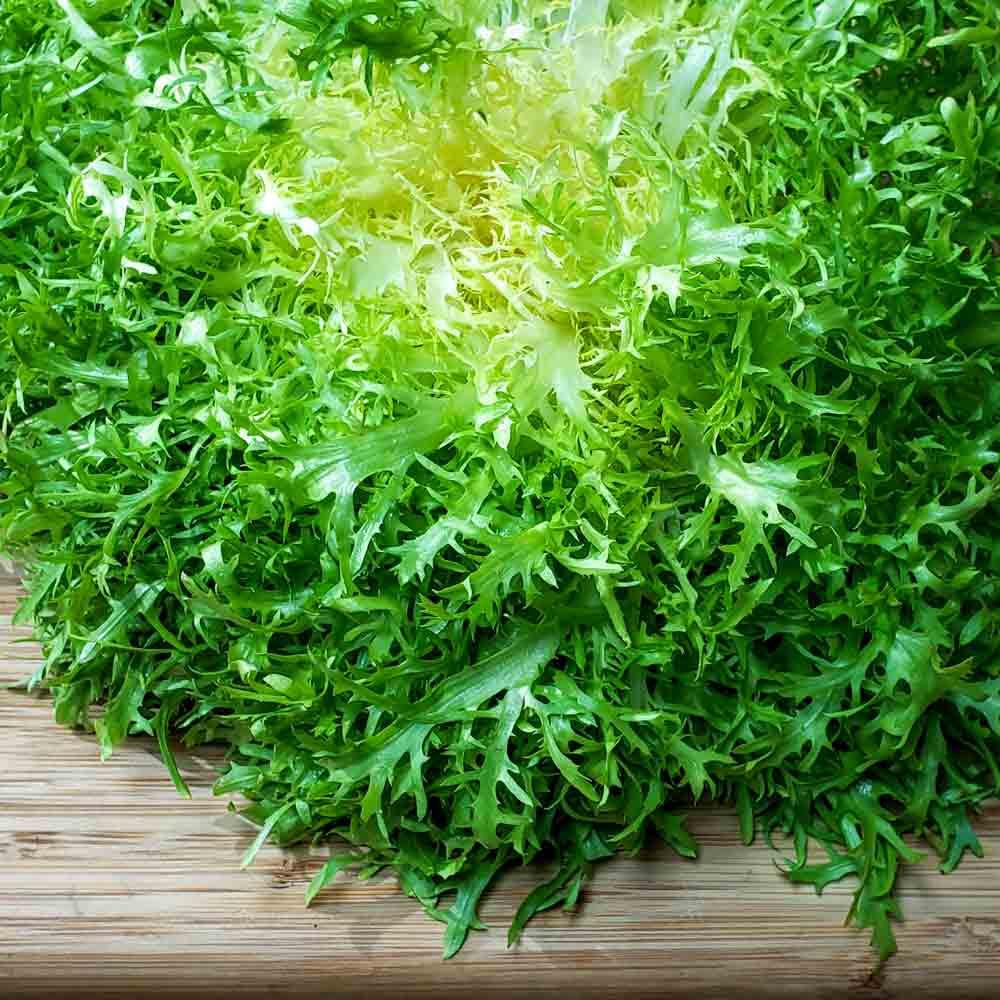 Freshly harvested Frisee Endive head - (Cichorium endivia var. crispa)