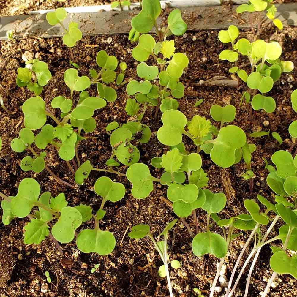 Georgia Southern Heirloom Collard Greens seedlings - (Brassica oleracea)