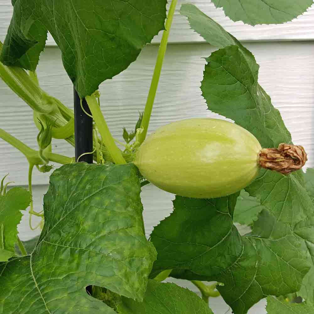 Young Spaghetti Winter Squash fruit - (Cucurbita pepo)