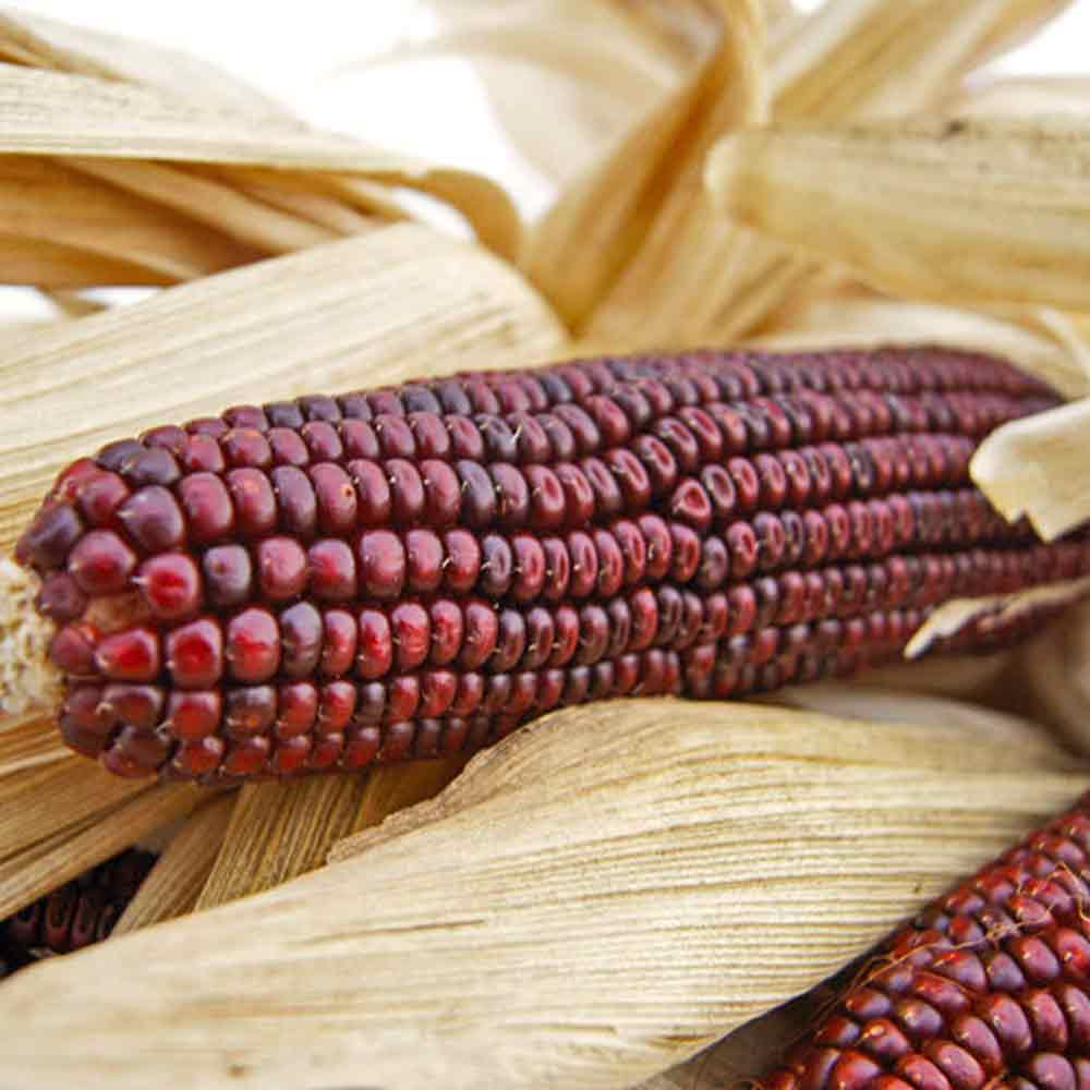 Bloody Butcher Corn - (Zea mays)