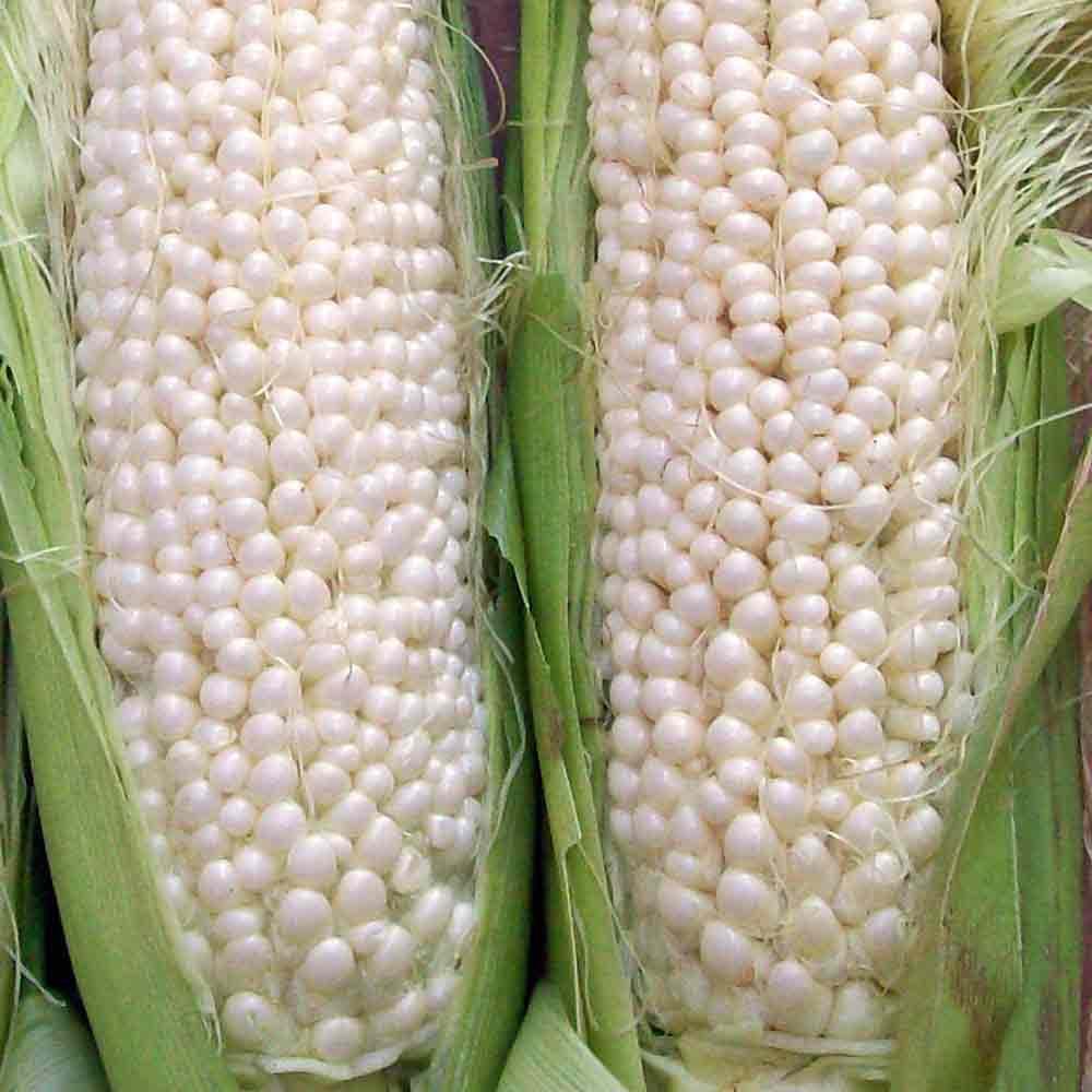 Country Gentleman Sweet Corn - (Zea mays)