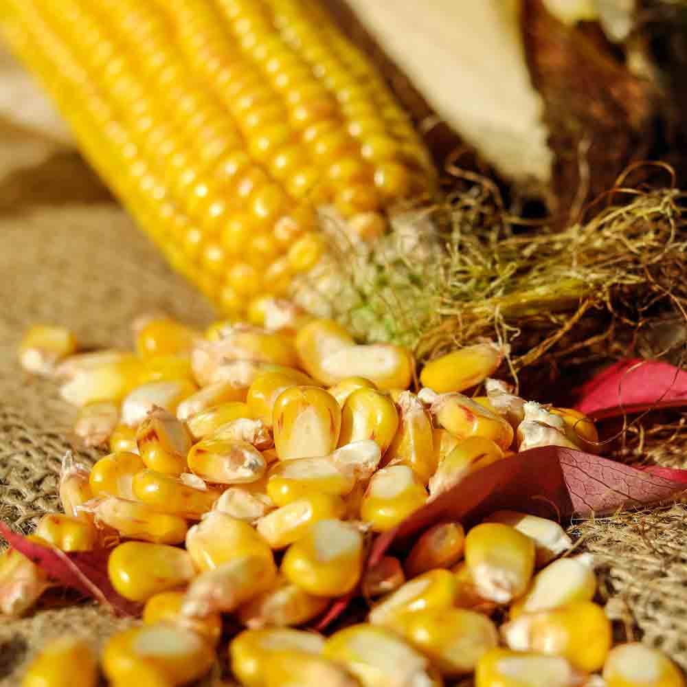 Golden Bantam Heirloom Sweet Corn ears and seeds - (Zea mays)
