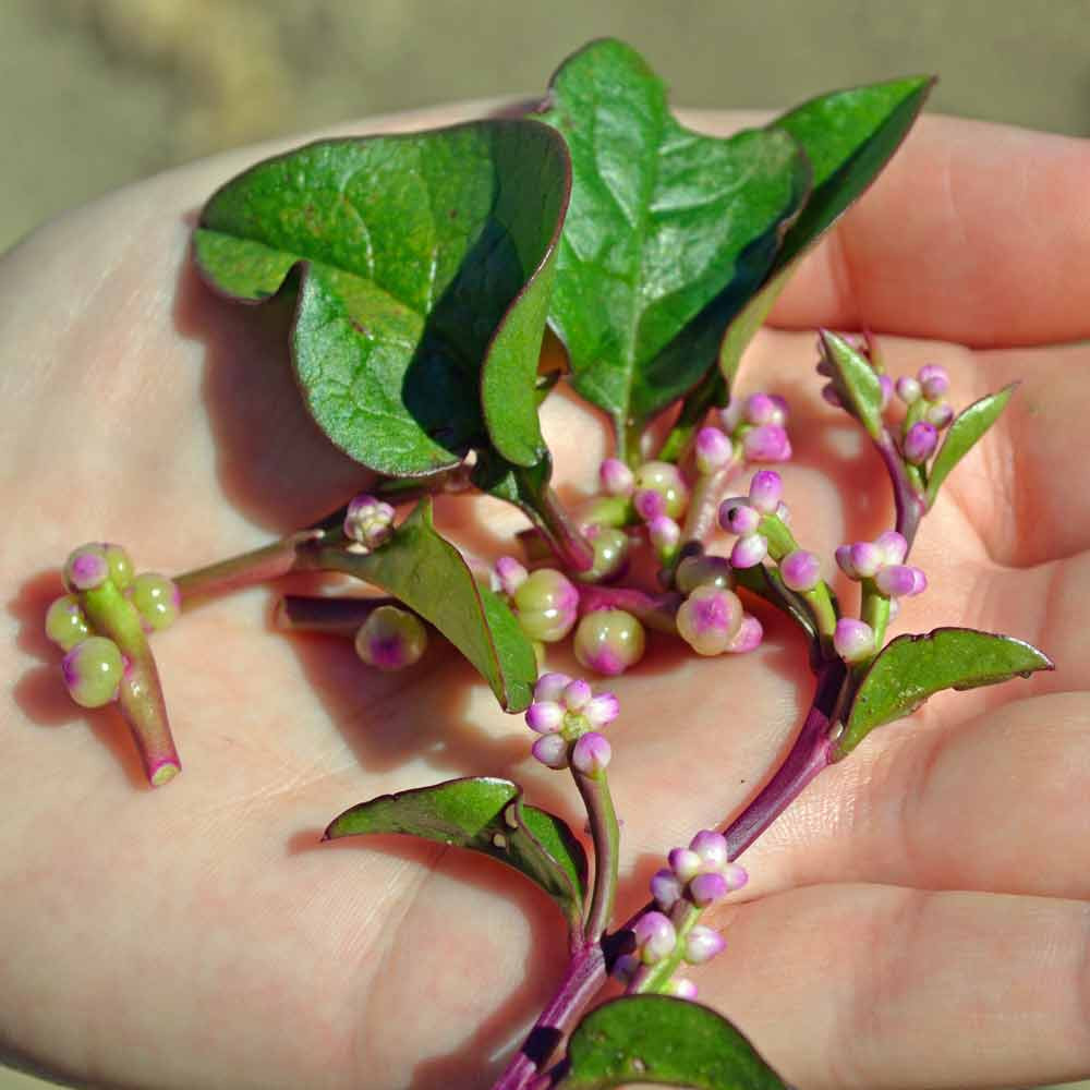 Red Malabar Spinach Leaves and Buds- (Basella rubra)