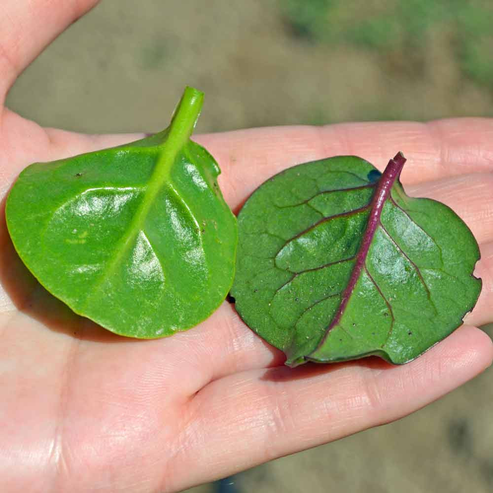 Green and Red Malabar Spinach Leaves - (Basella rubra)