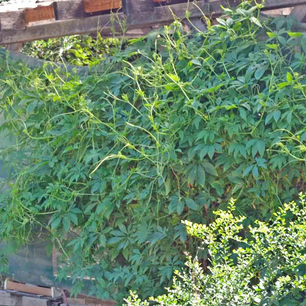 Achocha/Caihua Vines - (Cyclanthera pedata)