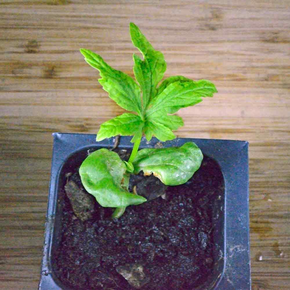 Achocha/Caihua Seedling - (Cyclanthera pedata)