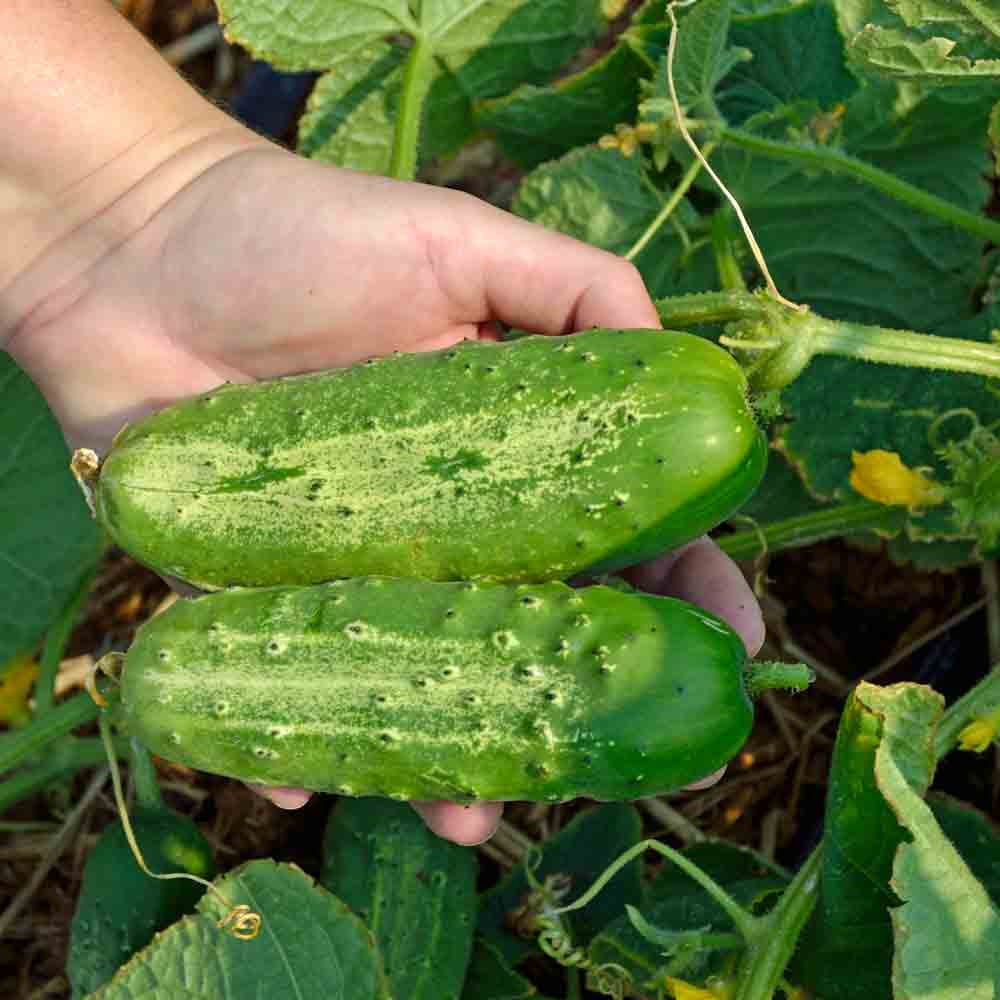 Boston Pickling Cucumbers - (Cucumis sativus)