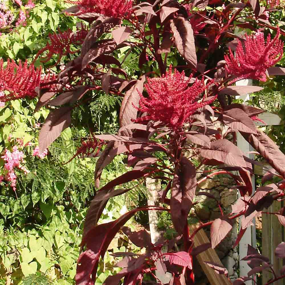 Red Garnet Amaranth plant with seeds - (Amaranthus hybridus)