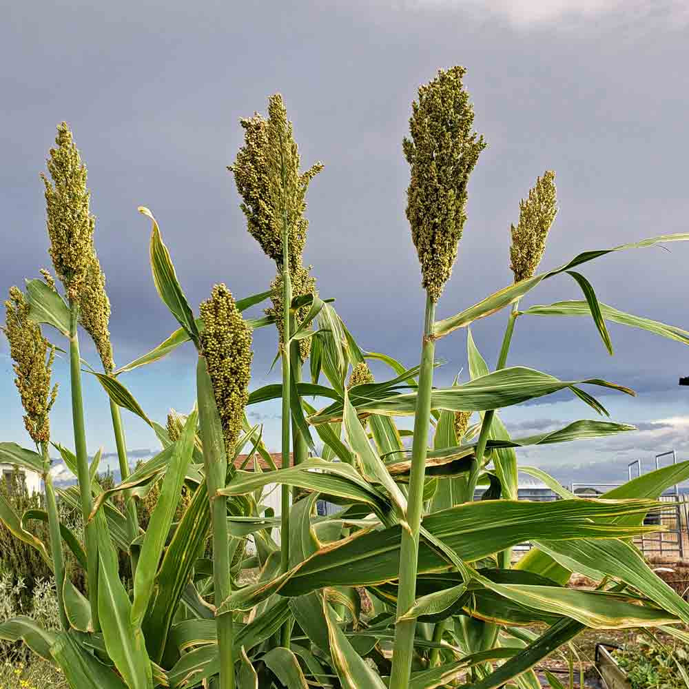 Mennonite Sorghum plants with seedheads - (Sorghum bicolor)