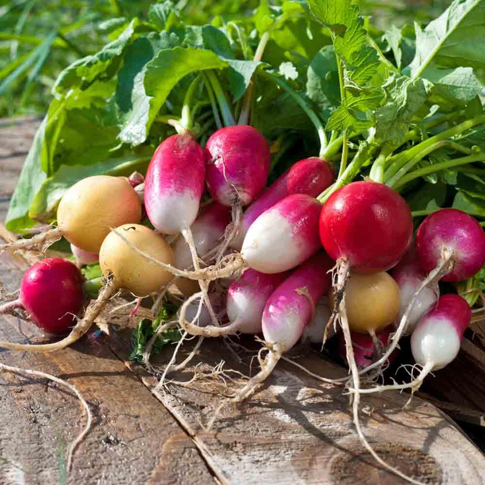 Heirloom Gourmet Radish Blend  - (Raphanus sativus)