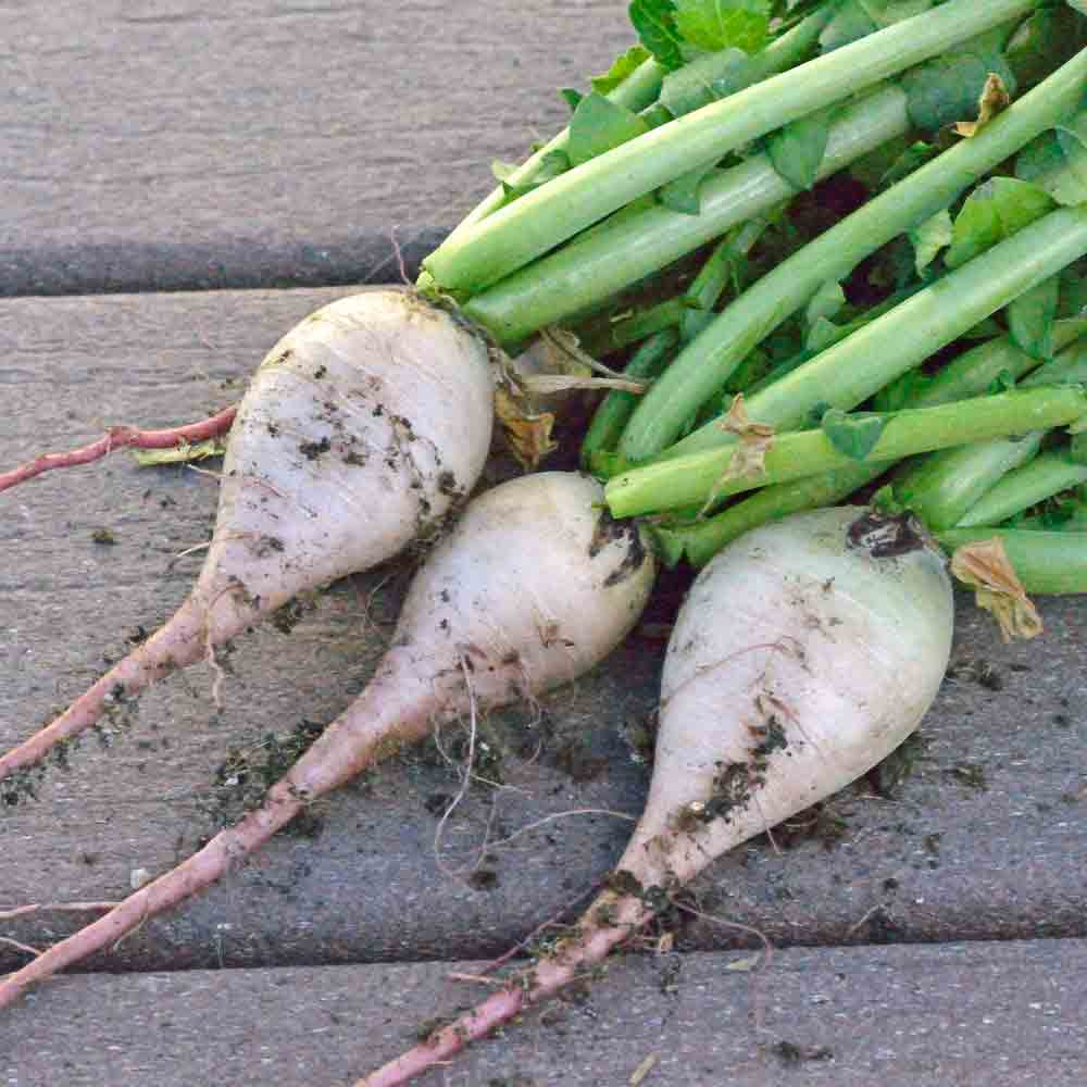 Young Watermelon/Red Meat Winter Radishes - (Raphanus sativus)