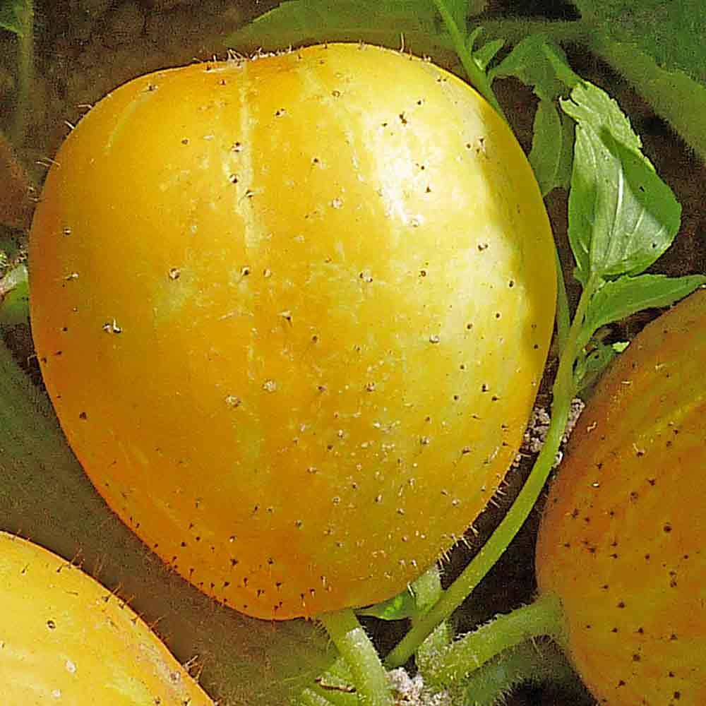 True Lemon Cucumber Fruit - (Cucumis sativus)