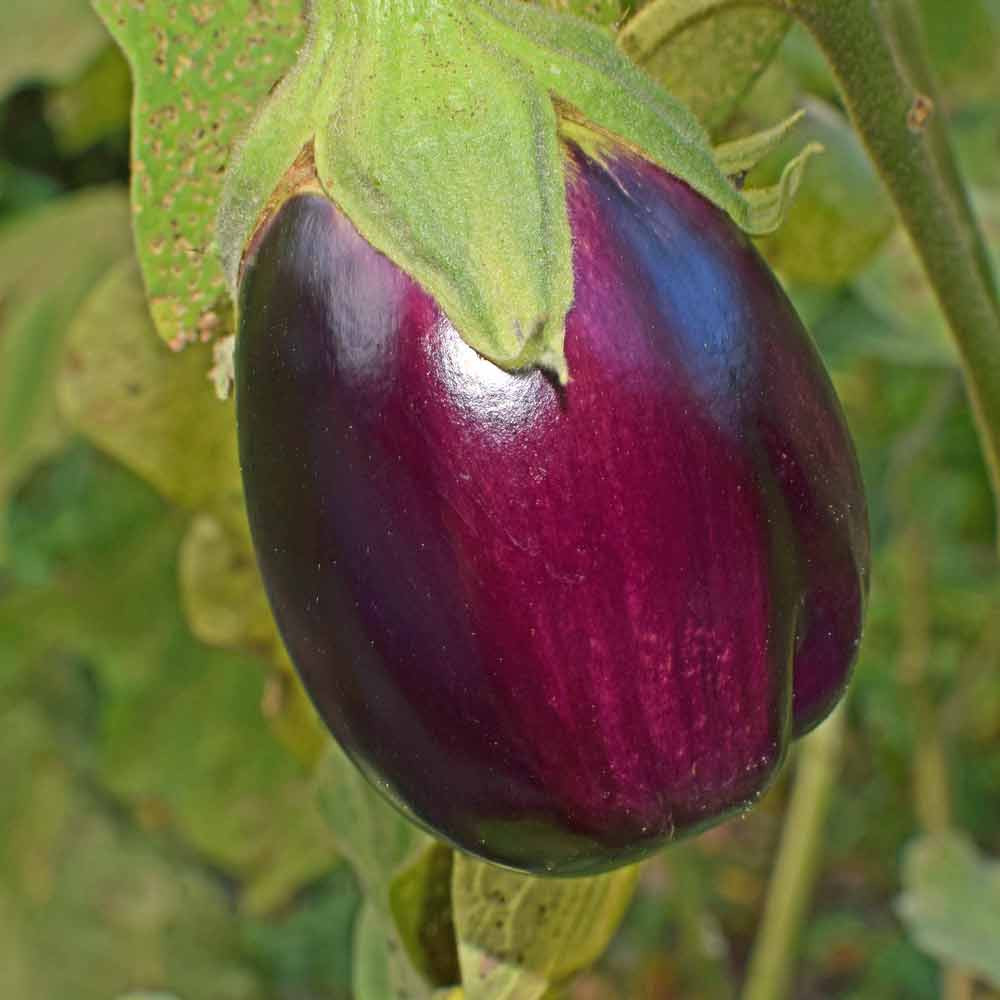 Black Beauty Eggplant fruit - (Solanum melongena var. esculentum)