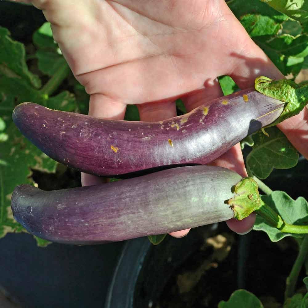 Long Purple Italian Eggplant fruits - (Solanum melongena var. esculentum)
