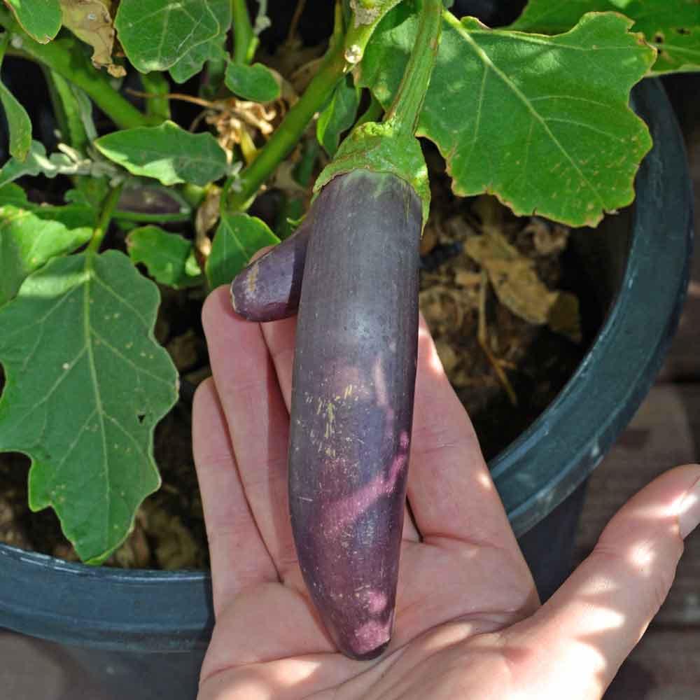 Long Purple Italian Eggplant fruit - (Solanum melongena var. esculentum)