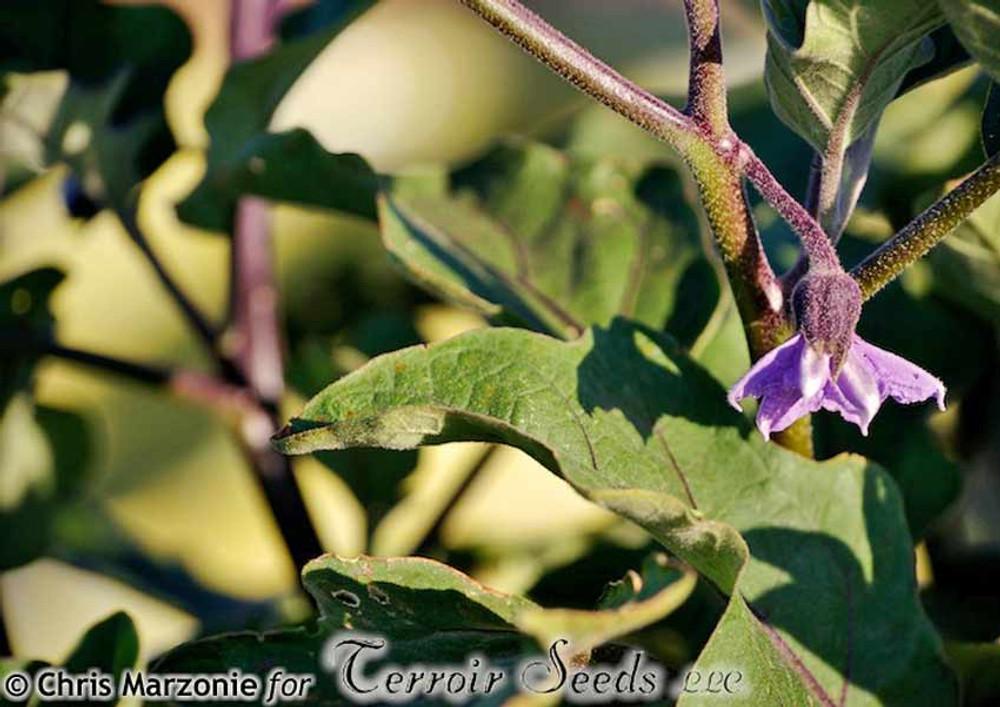 Rosa Bianca Eggplant blossom - (Solanum melongena var. esculentum)