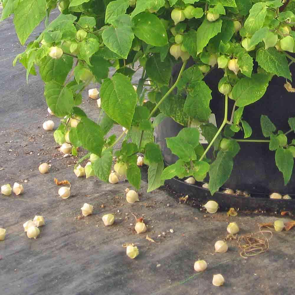 Aunt Molly's Ground Cherry fruits - (Physalis pruinosa)