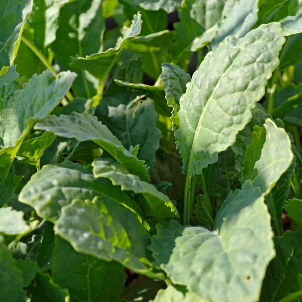 Young Lacinato Kale - (Brassica oleracea)