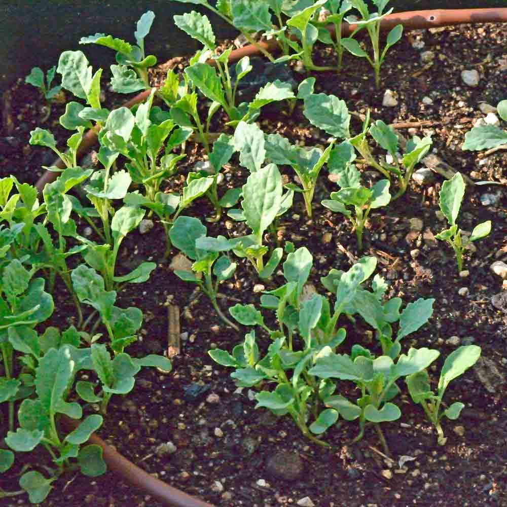 Lacinato Kale seedlings - (Brassica oleracea)