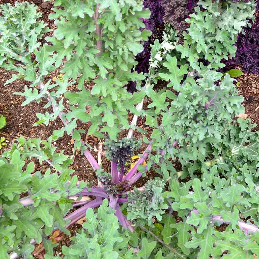 Red Ursa Kale Plant - (Brassica napus)
