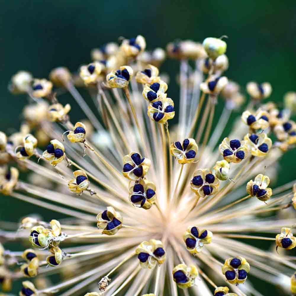Allium ampeloprasum porrum geant de suisse Giant Swiss Leek Early Summer 50 Seed