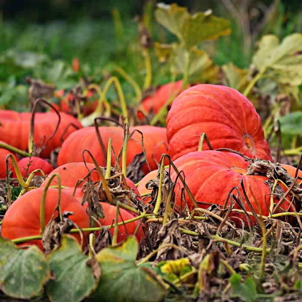 Cinderella Pumpkins on the vine - (Cucurbita pepo)