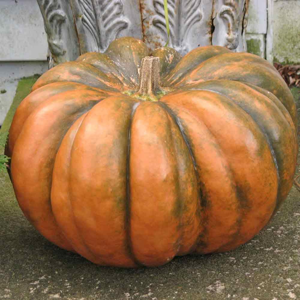 Musquée de Provence/Fairy Tale Pumpkin Seeds - (Cucurbita moschata)