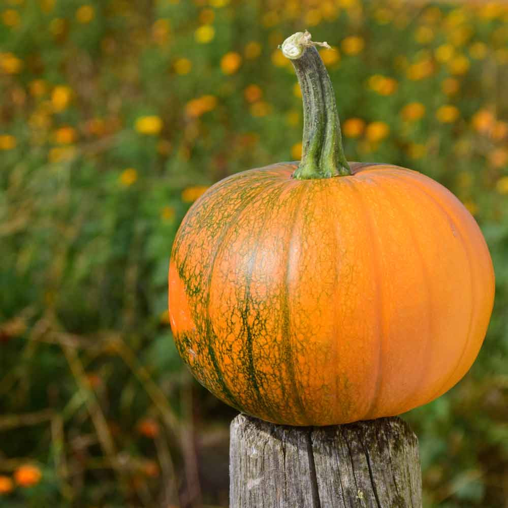 New England Sugar Pie Pumpkin - (Cucurbita pepo)