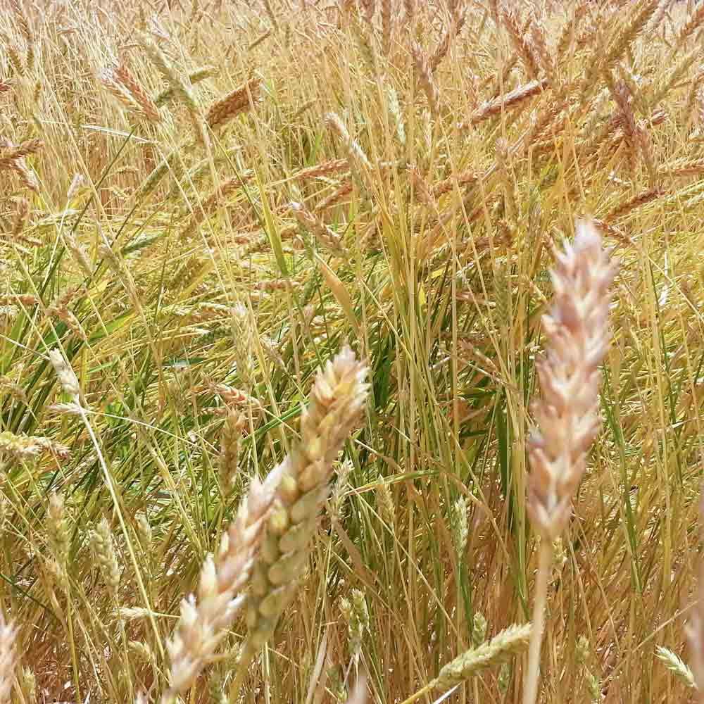 Stalks of White Sonora Wheat - (Triticum aestivum)