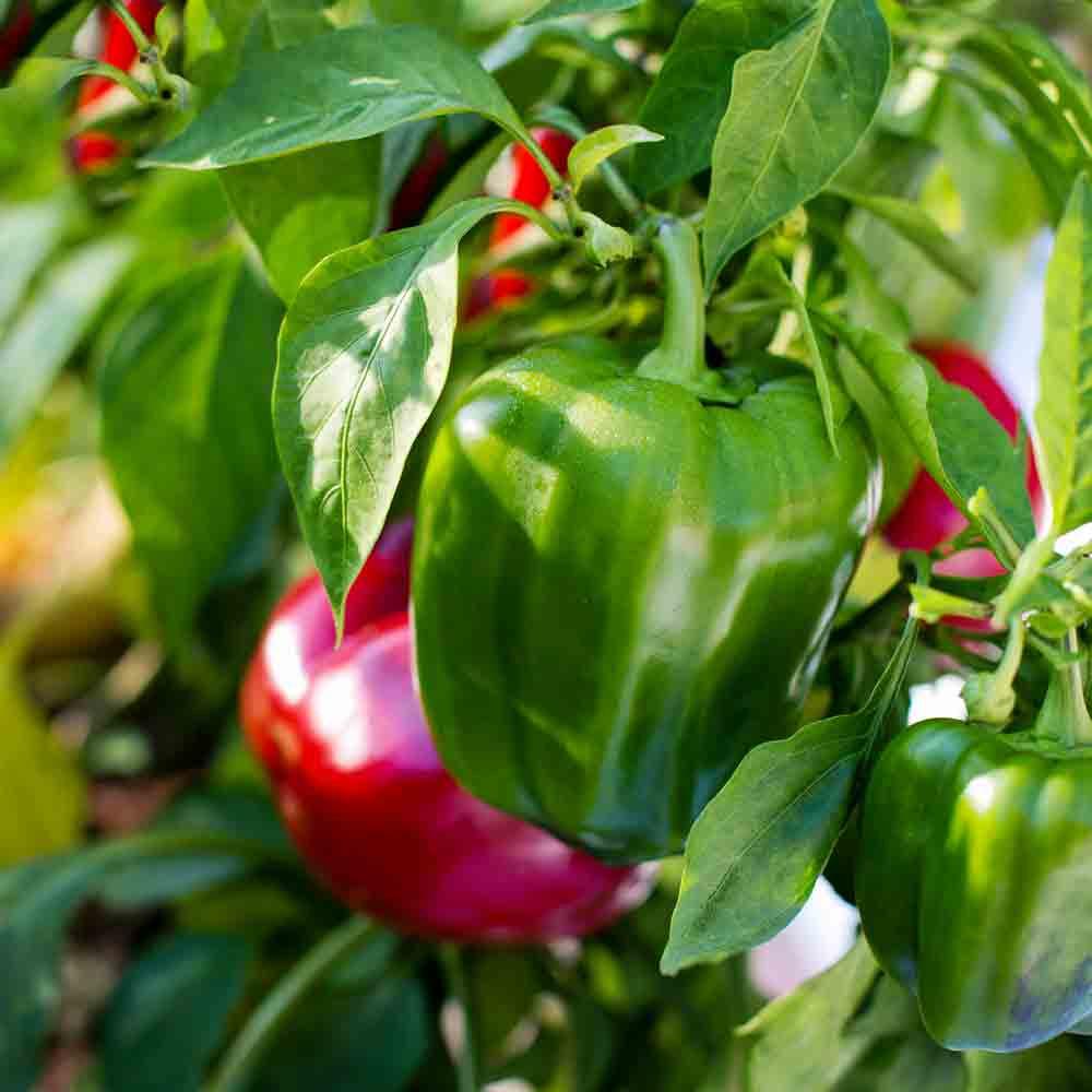 Ripe Red Jupiter Sweet Peppers - (Capsicum annuum)