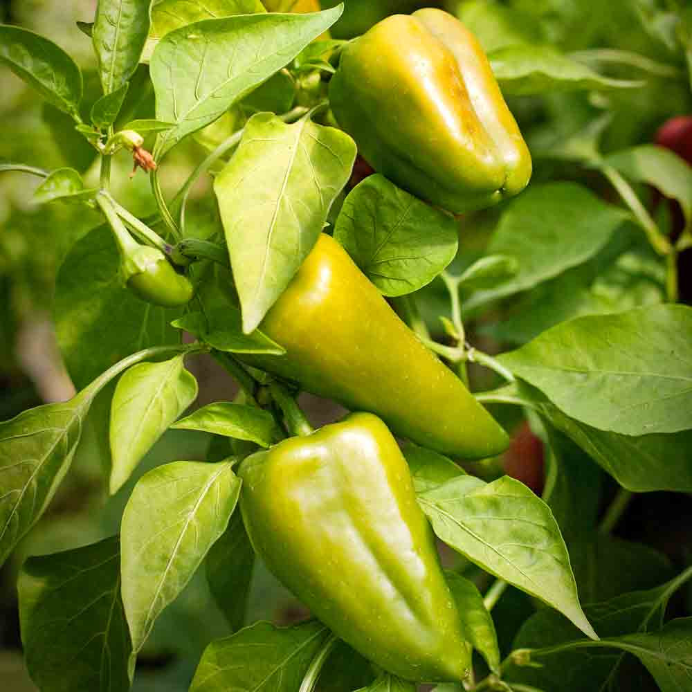 Green Lipstick Sweet Peppers - (Capsicum annuum)