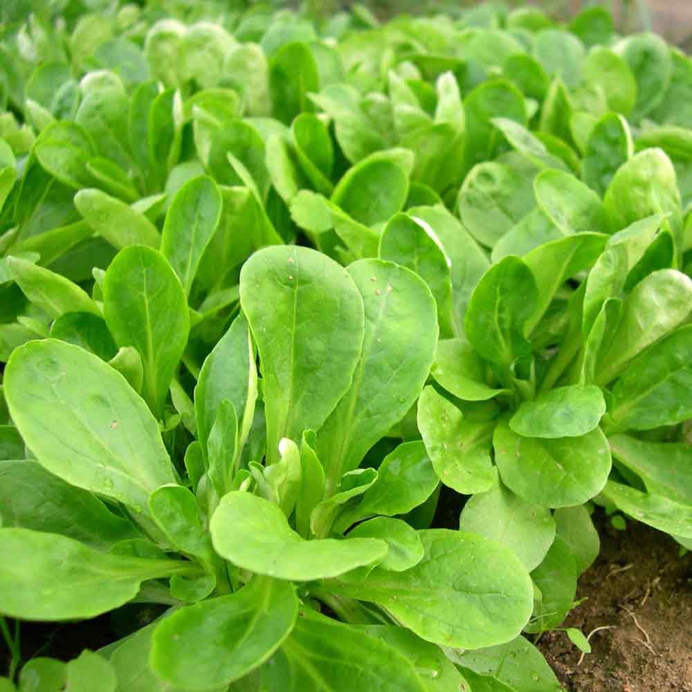 Young Corn Salad/Lambs Lettuce/Mache plants - (Valerianella locusta)