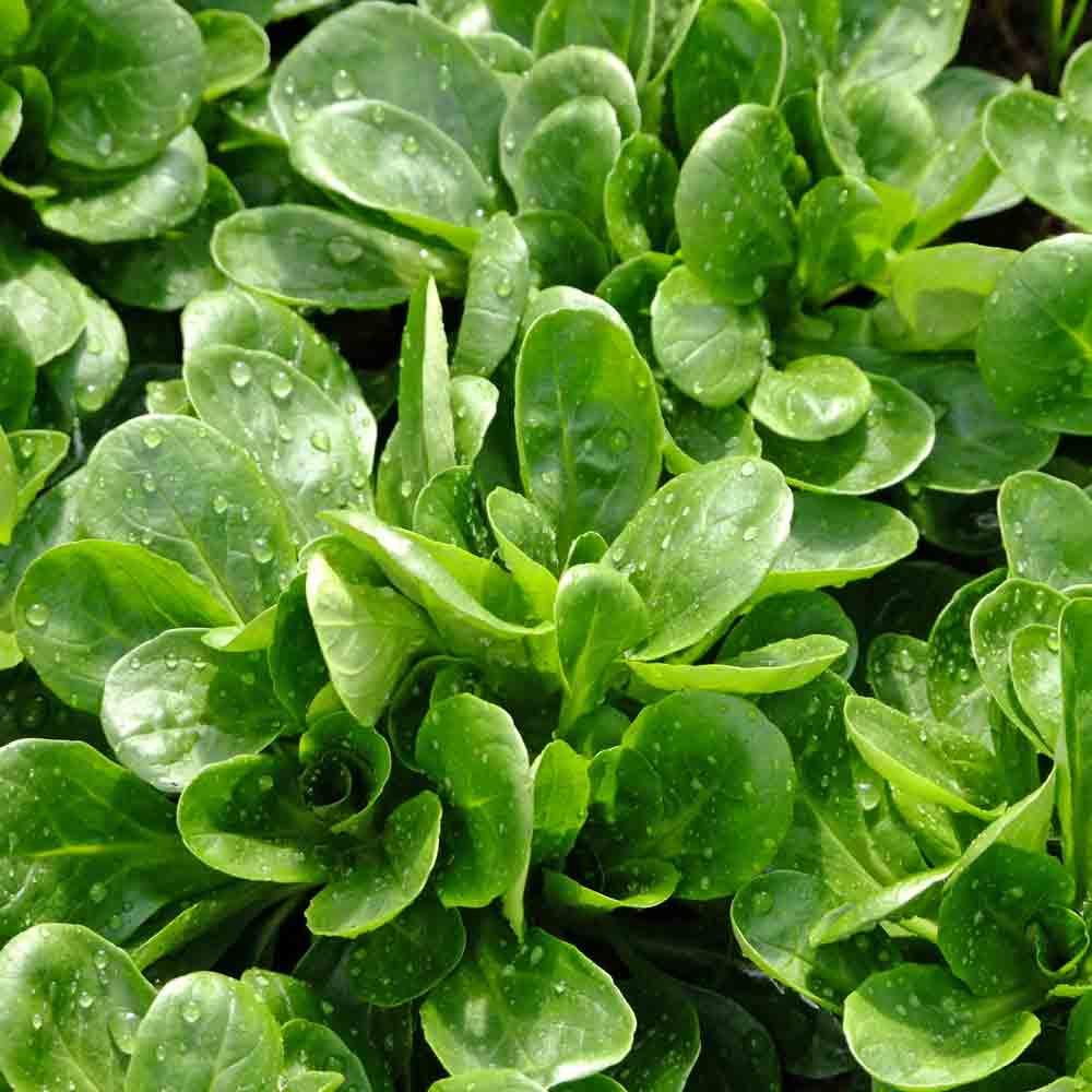 Mature Corn Salad/Lambs Lettuce/Mache plants - (Valerianella locusta)