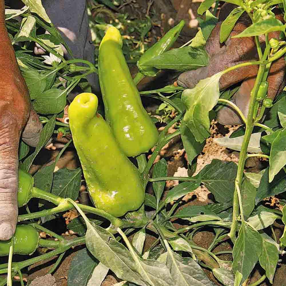 Chile de Agua Peppers on the vine - (Capsicum annuum)