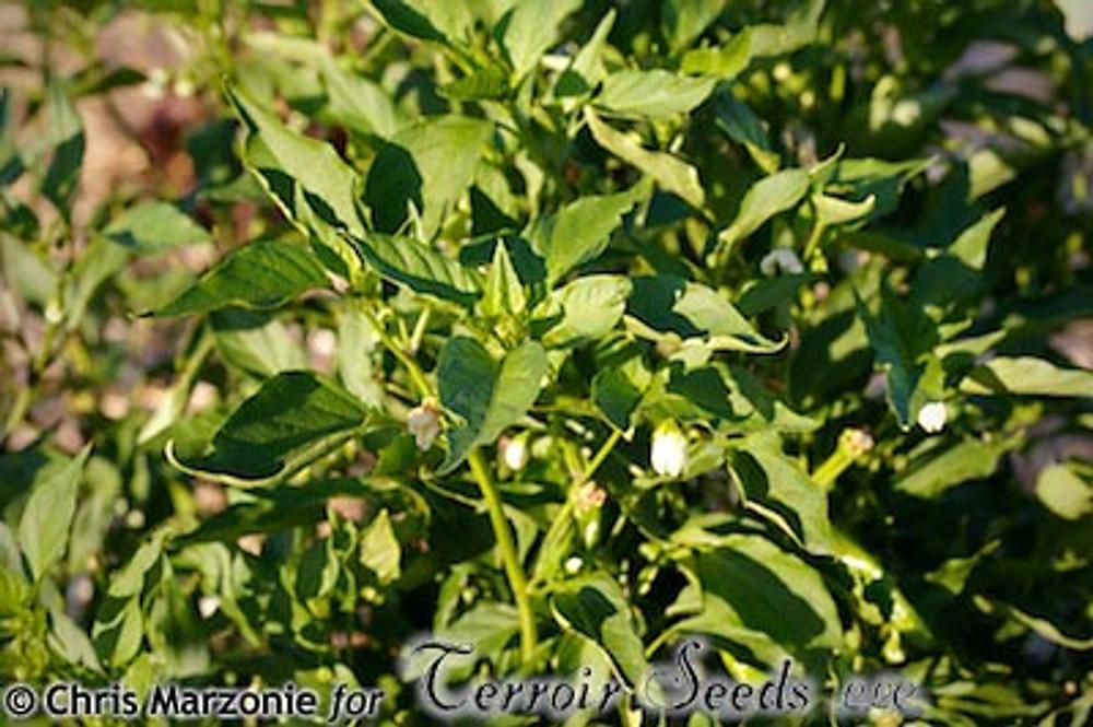 Concho Chile - (Capsicum annuum)