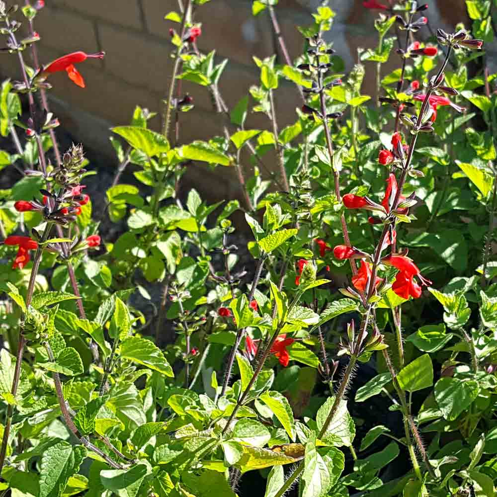 Scarlet Sage flowers - (Salvia coccinea)
