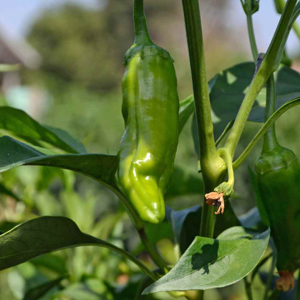 Pimiento de Padron Peppers - (Capsicum annuum)