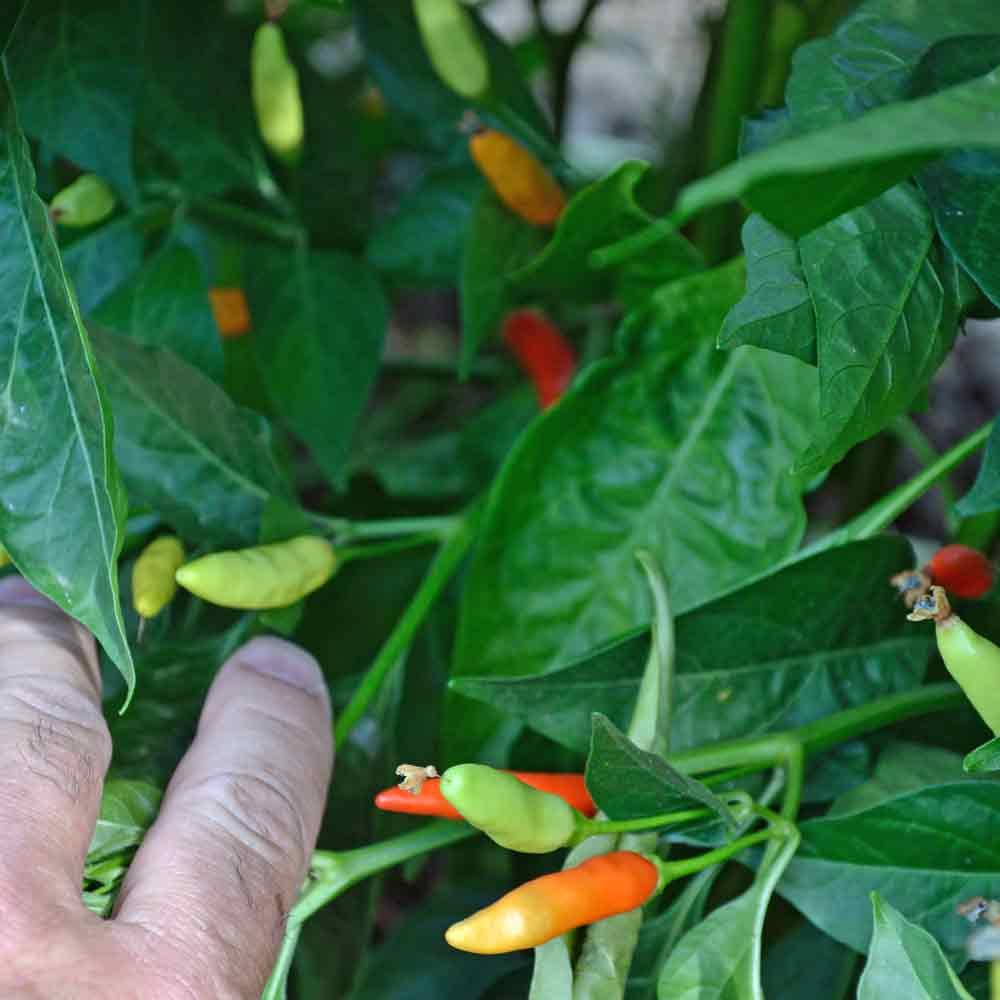 Ripening Tabasco Peppers  - (Capsicum frutescens)