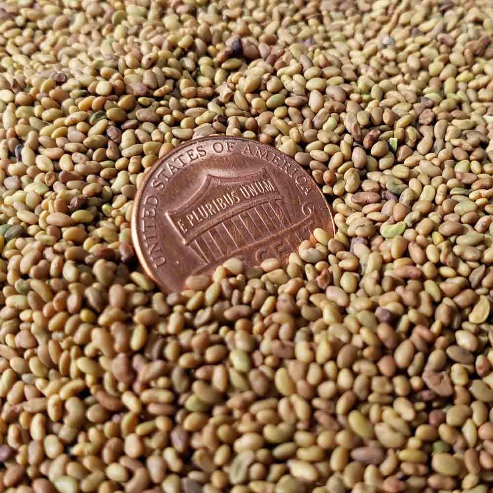 Alfalfa Sprouting Seeds