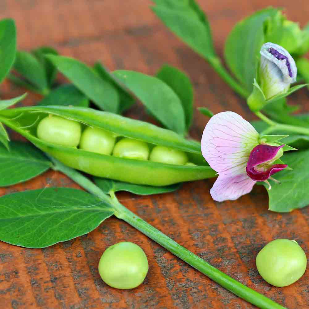 Sugar Ann Snap Pea pod and flower - (Pisum sativum)