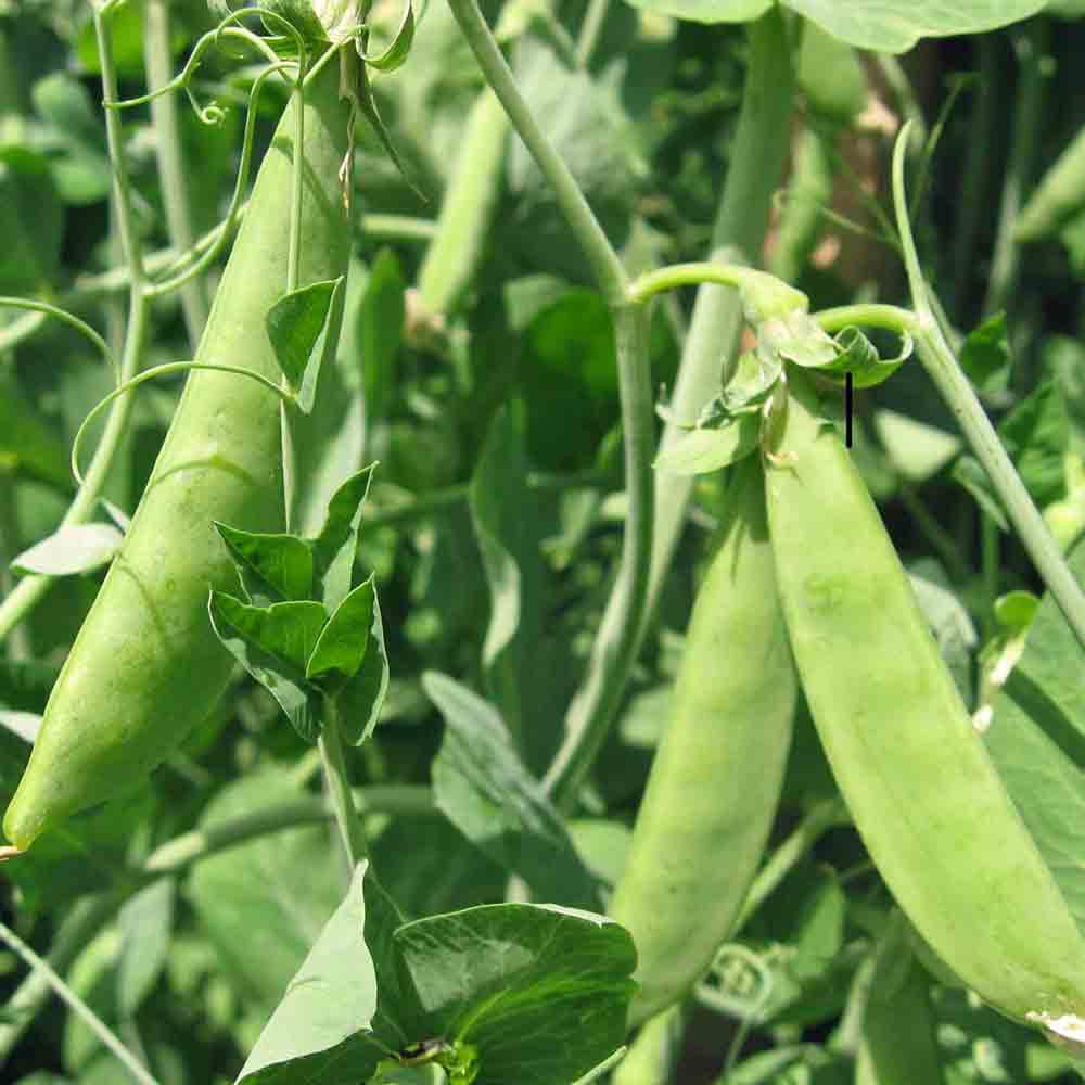 Mammoth Melting Sugar Peas on the vine - (Pisum sativum)
