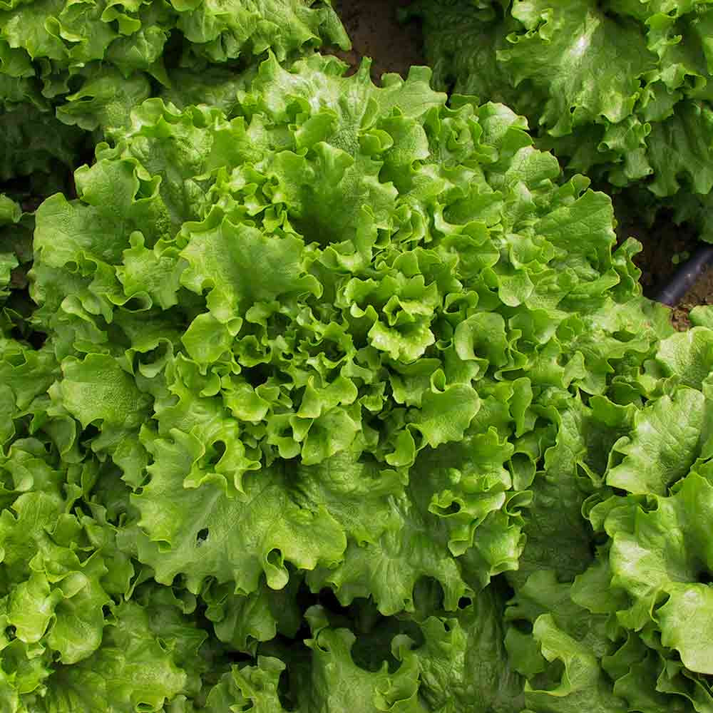 Lactuca sativa 2000 SEEDS LETTUCE ALL YEAR ROUND Vegetable seeds