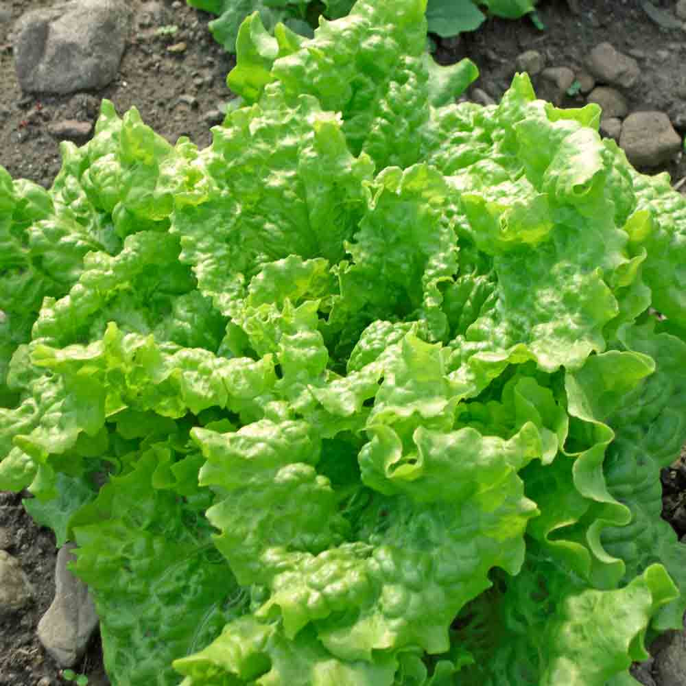 Black-Seeded Simpson Lettuce - (Lactuca sativa)
